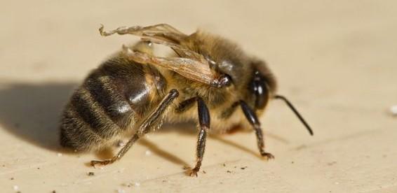 Le virus de l'abeille DWV - Virus des ailes déformées